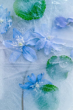 Magdalena Wasiczek blue flowers in ice Flowers/Plants