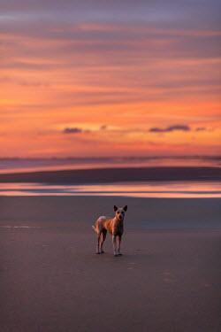 Ashraful Arefin DOG STANDING ON BEACH AT SUNSET Animals