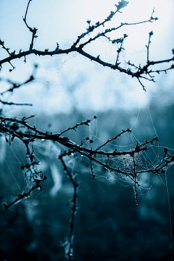 Rekha Garton THORNY BRANCH WITH COBWEBS Trees/Forest