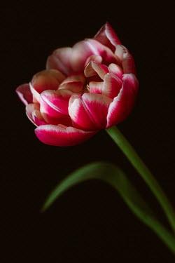 Magdalena Wasiczek close up of  pink tulip Flowers