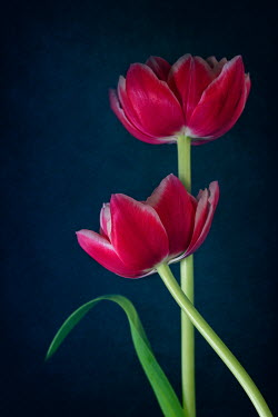 Magdalena Wasiczek close up of two pink tulips Flowers