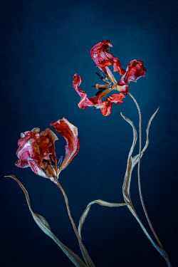 Magdalena Wasiczek close up of two withered red tulips Flowers