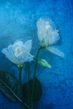 Magdalena Wasiczek white flowers under water Flowers/Plants