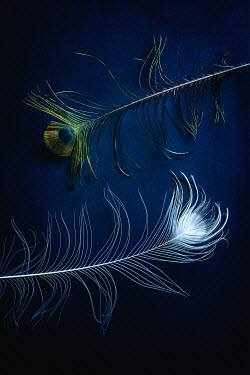 Magdalena Wasiczek two peacock feathers Miscellaneous Objects