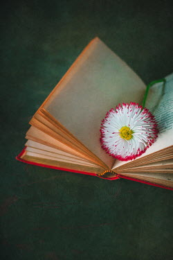 Magdalena Wasiczek close up of daisy and book Flowers