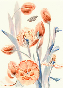 Magdalena Wasiczek close up of tulips and butterfly Insects