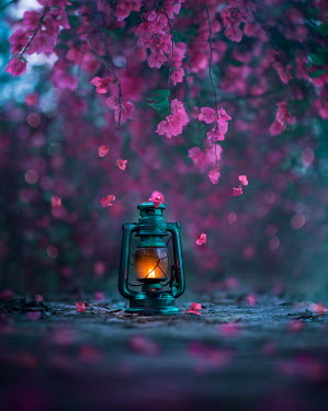 Ashraful Arefin LANTERN WITH PINK BLOSSOM AT DUSK Miscellaneous Objects