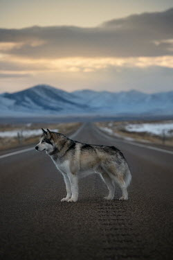 Viktoria Haack WOLF STANDING ON ROAD WITH MOUNTAINS Animals