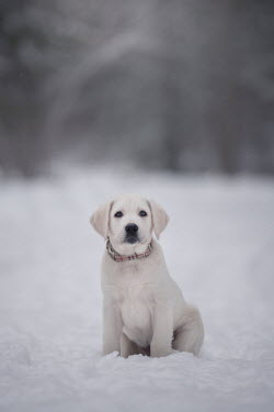 Viktoria Haack LABRADOR PUPPY SITTING IN SNOW Animals