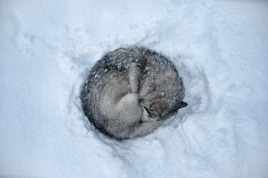 Viktoria Haack WOLF CURLED UP IN SNOW FROM ABOVE Animals