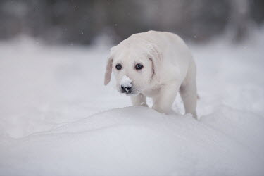 Viktoria Haack LABRADOR PUPPY OUTDOORS WITH SNOW ON NOSE Animals