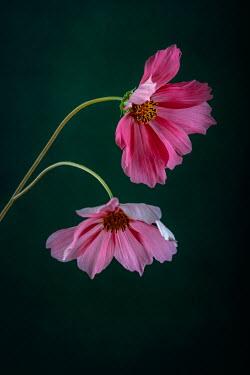 Magdalena Wasiczek two pink cosmos flowers Flowers