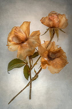 Magdalena Wasiczek CLOSE UP OF BROWN WILTED ROSES Flowers
