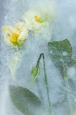 Magdalena Wasiczek yellow flowers frozen in water Flowers/Plants