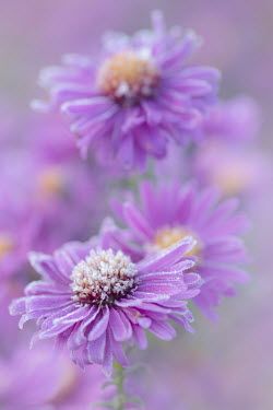 Magdalena Wasiczek close up of purple flowers with frost Flowers/Plants
