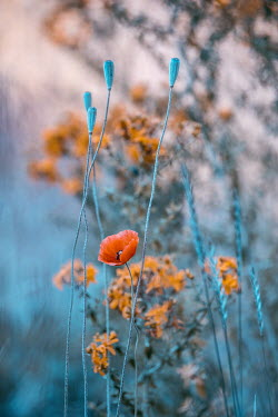 Magdalena Wasiczek RED POPPY AND ORANGE FLOWERS OUTDOORS Flowers/Plants