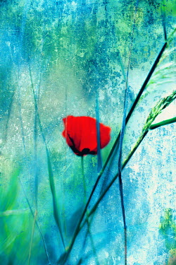 Irene Lamprakou RED POPPY WITH GREEN GRASS Flowers/Plants