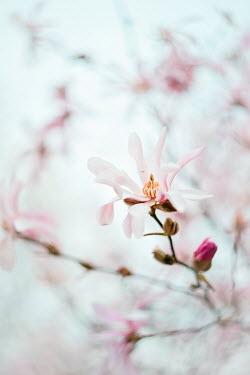 Magdalena Wasiczek close up of magnolia Flowers/Plants