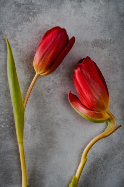 Magdalena Wasiczek two wilting red tulips Flowers