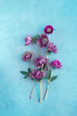 Magdalena Wasiczek purple hellebore flowers Flowers