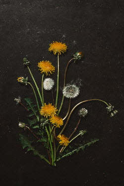 Shelley Richmond COLLAGE OF DANDELION FLOWERS AND LEAVES Flowers