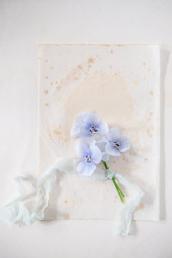 Magdalena Wasiczek three blue pansy flowers and old paper Flowers