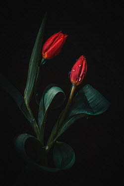 Magdalena Wasiczek Two red tulips with drops of water Flowers
