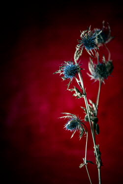 Sally Mundy BLUE THISTLES WITH RED BACKGROUND Flowers
