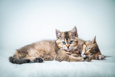 Evelina Kremsdorf Kittens on white background