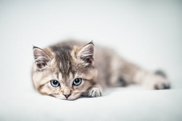 Evelina Kremsdorf Kitten on white background