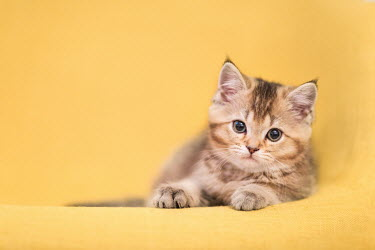 Evelina Kremsdorf Kitten on yellow background