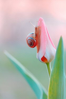 Magdalena Wasiczek Close up of snail on tulip