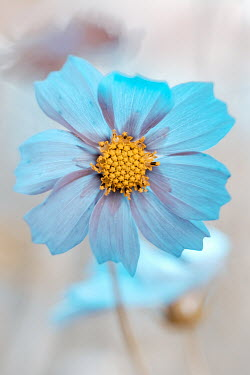 Magdalena Wasiczek Close up of blue cosmos flower