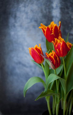 Jean Ladzinski RED AND ORANGE TULIPS INDOORS Flowers
