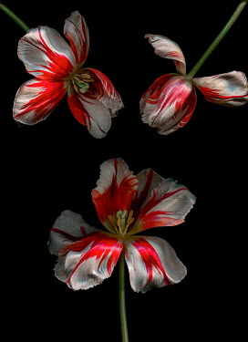 Magdalena Wasiczek close up of three red and white tulips Flowers