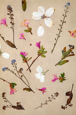 Miguel Sobreira PRESSED PINK WHITE AND BLUE FLOWERS Flowers