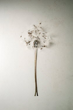 Sally Mundy DANDELION SEEDS AND STEM Flowers