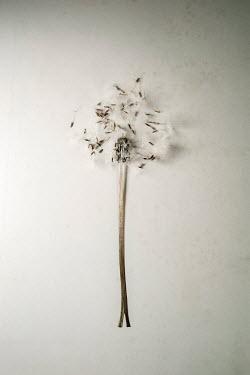 Sally Mundy DANDELION SEEDS AND STEM Flowers