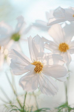 Magdalena Wasiczek close up of white cosmos flowers Flowers/Plants