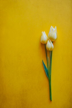 Magdalena Wasiczek Close up of three tulips on yellow background