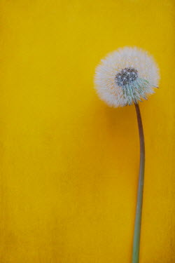 Magdalena Wasiczek Dandelion on yellow background
