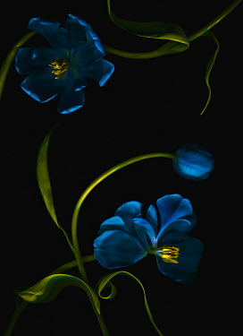 Magdalena Wasiczek blue tulips with leaves