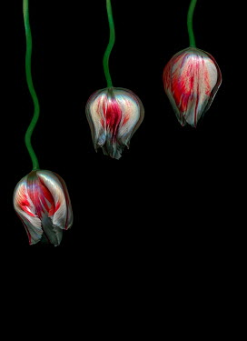 Magdalena Wasiczek close up of three tulips