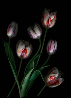 Magdalena Wasiczek Bunch of red and purple Tulips Flowers