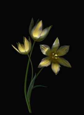 Magdalena Wasiczek Three yellow tulips Flowers