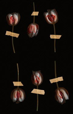 Magdalena Wasiczek tulips stuck with a plasters