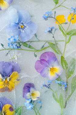 Magdalena Wasiczek Flowers in ice