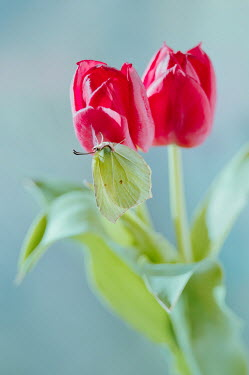 Magdalena Wasiczek Red tulips and brimstone butterfly