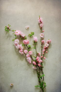 Magdalena Wasiczek TWIGS OF PINK BLOSSOM FROM ABOVE Flowers