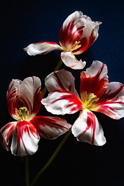 Magdalena Wasiczek THREE WHITE AND RED TULIPS Flowers